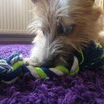 Hund mit Spieltau | bunt und einzigartig Coaching - Nicole Gollan